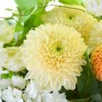 枚方市といえば菊の花