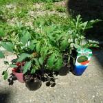 スイカとトマトを植えました